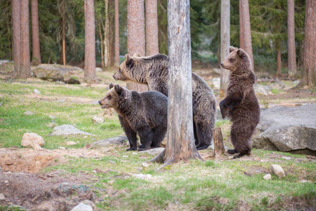 karhut olivat veikeän näköisiä kun ne tähysteli