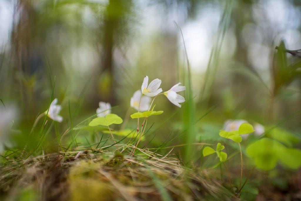 Myös kukkia voi käyttää harjoitellessa. kuva on otettu 35mm f1.4
