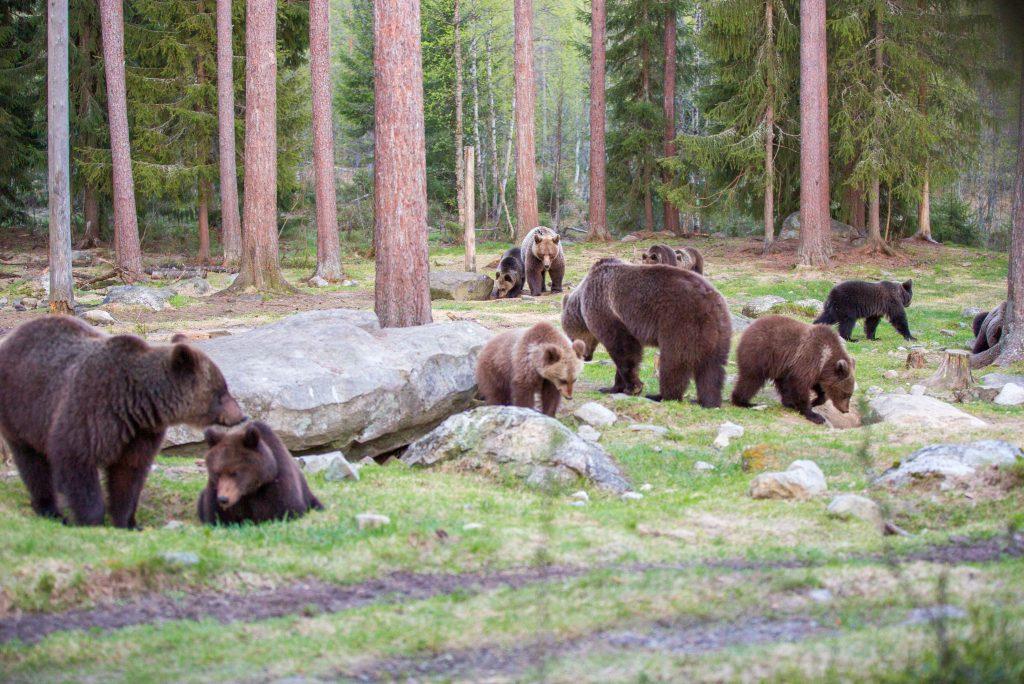 karhuja kyllä riitti kuvattavaksi!