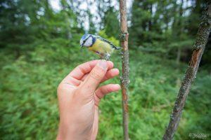 Monesti myös linnut kiinnostuu pähkinöistä ja niistäkin saa hyviä kuvia.