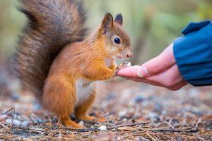 Myös telellä saa hauskoja lähikuvia oravista. Kuva otettu 200mm polttovälillä.