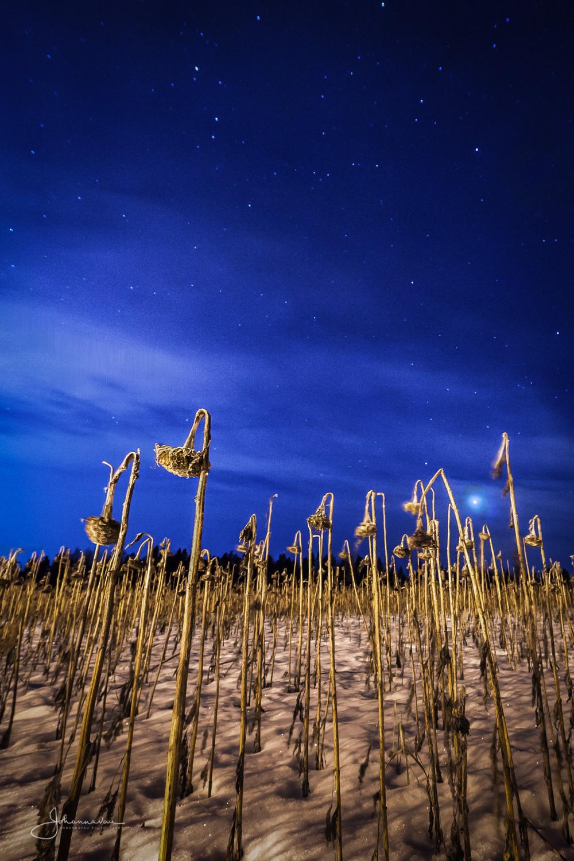 Auringonkukkia yöllä